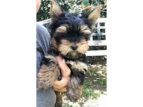 Handsome AKC yorkie pup