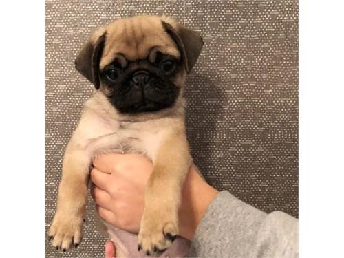 *Excellent Pug puppies **