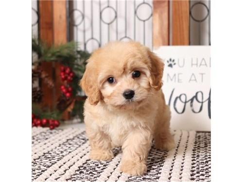 Adorable Cavapoo Puppies