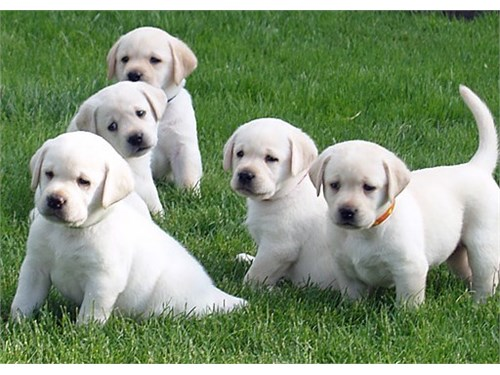 Labradors Health Tested