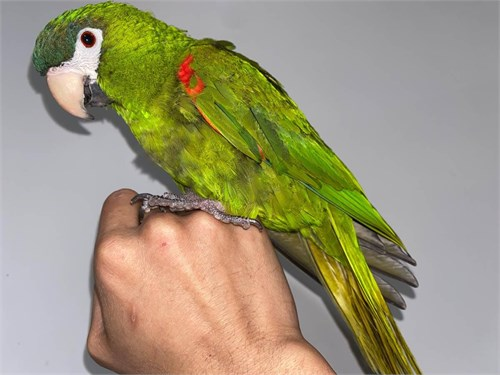 Talking Noble Macaw