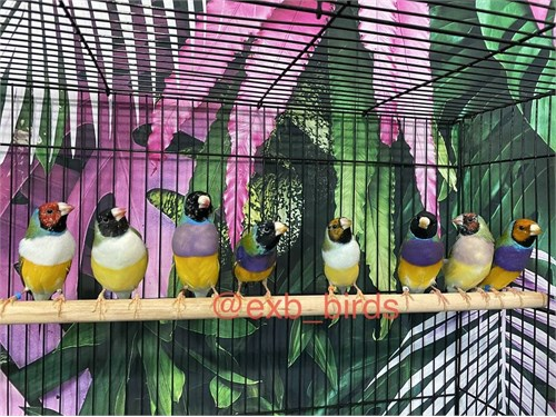 Young Gouldian Finches