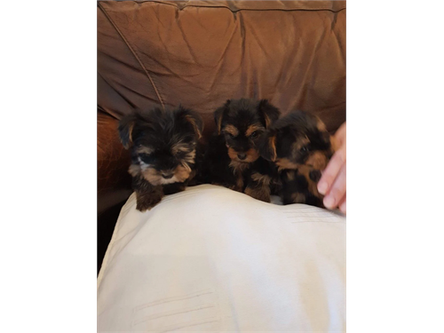 Available Yorkshire pups