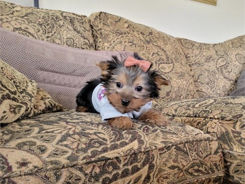 Beautiful Yorkie Girl