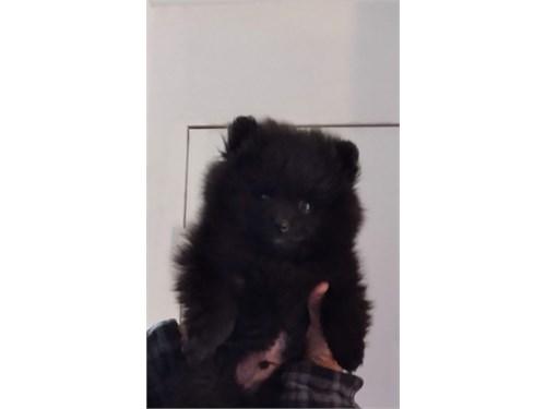 8 week old black puppy