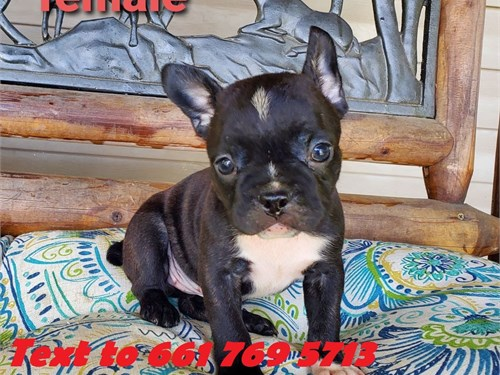French Bull+ dog Puppies