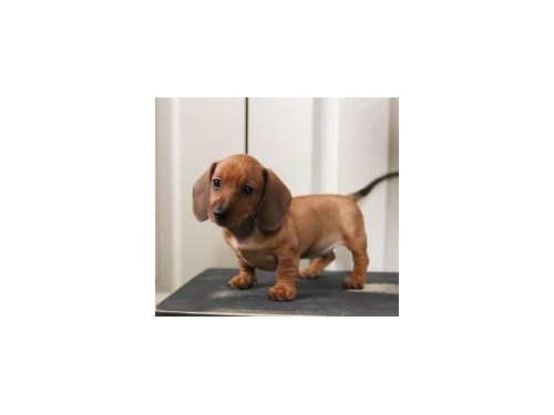DACHSHUND PUPPIES AVAILS