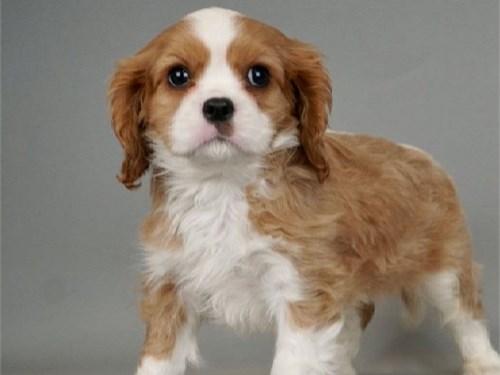 gtgthgt king charles pups