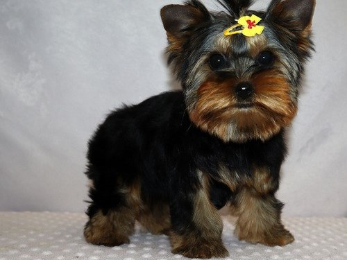 Attractive Yorkie pups
