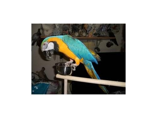 Talking Blue gold Macaws