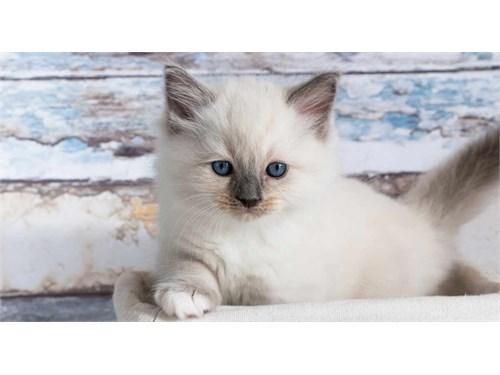 Friendly Ragdoll Kittens