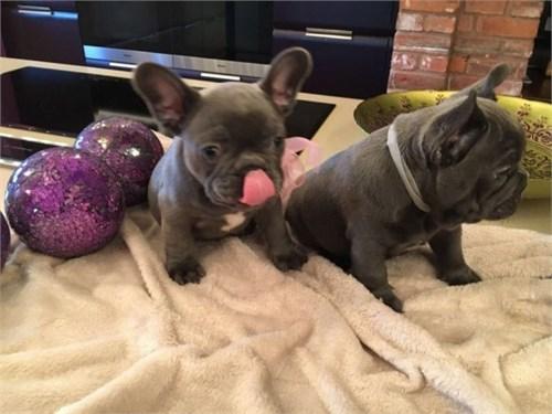 french bulldog pupps