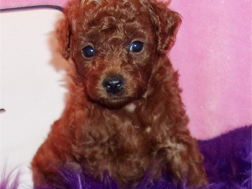 True Red Toy Poodle Pups