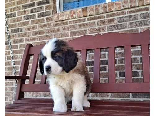 Elegant Saint Bernard pup