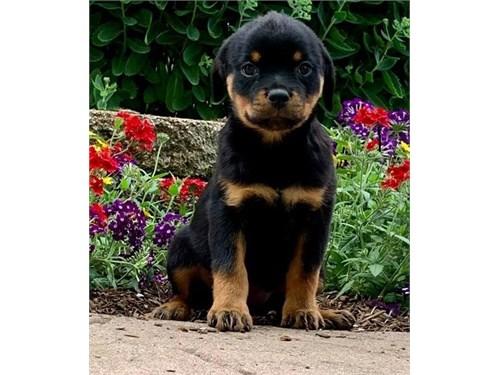 Gorgeous Rottweiler