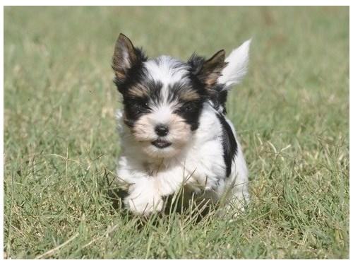 Tiny Biewer puppies