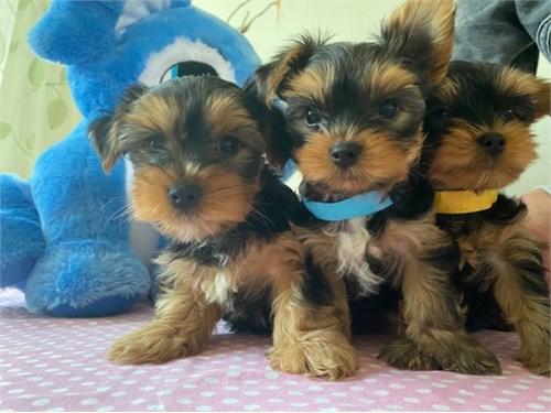 Cute teacup yorky pups