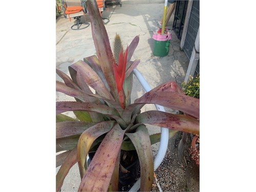 Aechmea Pinelania