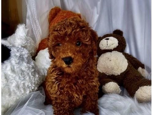 Tiny Tina 3lbs Tcup Poodl
