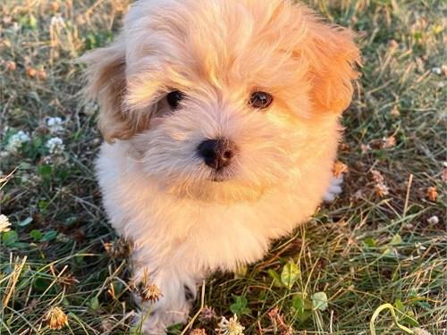 Cute Malti'poo puppies