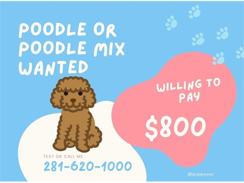 WANTED:Poodle/Poodle Mix