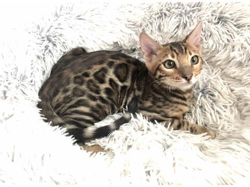 Cute Bengal Kittens