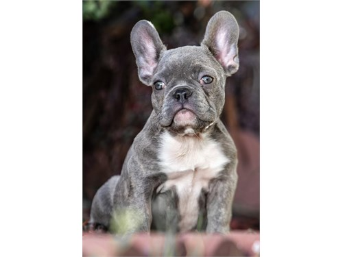 Frenchie Blue brindle