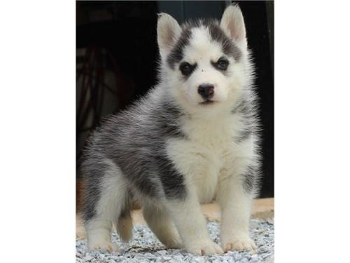 Confident Husky Puppies