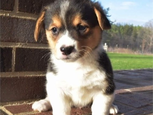 Pembroke W Corgi Puppies