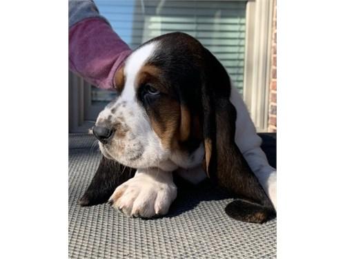 Basset Hound Pups$