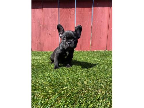 Fawn French bulldog pup