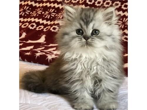 HOLIDAY PERSIAN KITTENS