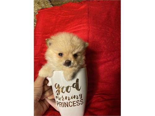 Purebred Pomeranian baby