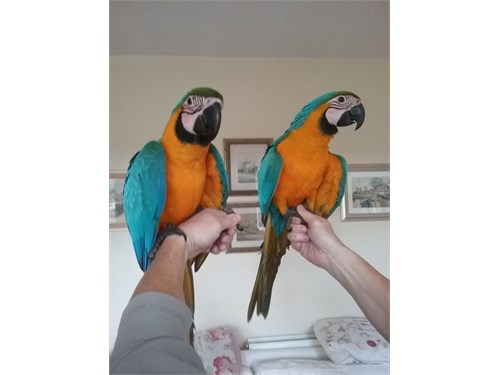 Pair of Macaw Parrots