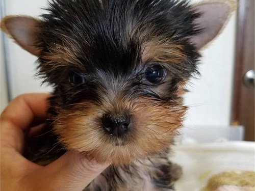Parti Carrier Yorkie Pups