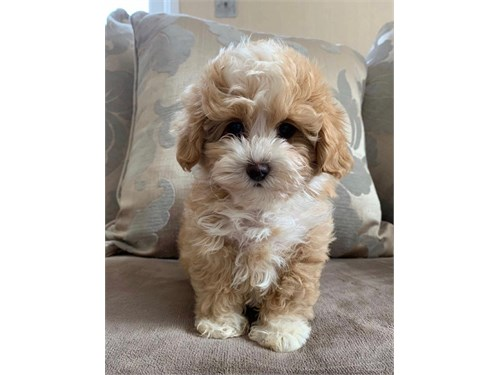 New year Maltipoo puppy