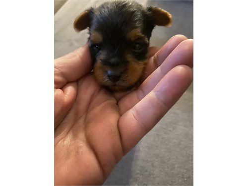 Yorkie puppy small