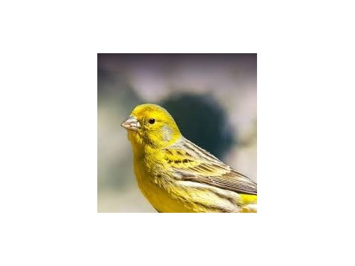 Beautiful Healthy Canary