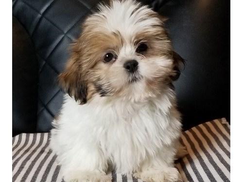 capable Shih tzu puppies