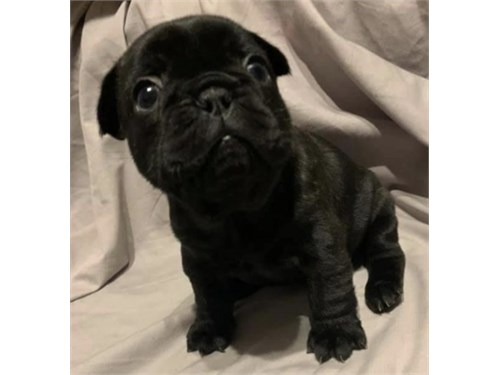 Frenchie available