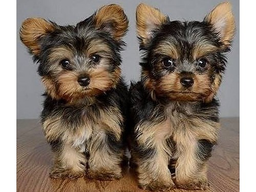 Two Yorkshire Terrier Pup