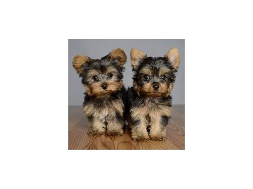 Yorkie puppies for safe