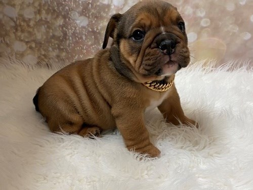 Bazi English Bulldog pups