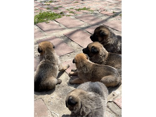 Puppies German Shepher