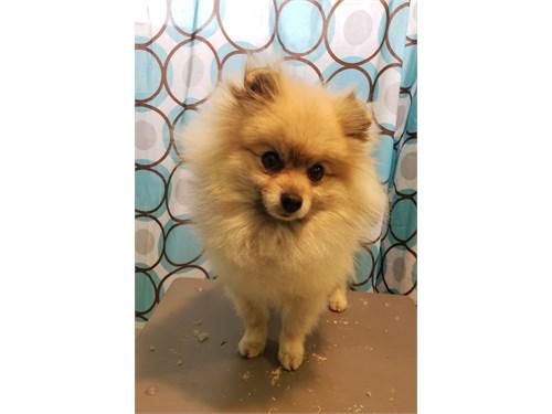 Pomeranian *STUD*