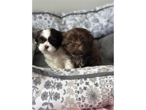 Charming Shih Tzu pups