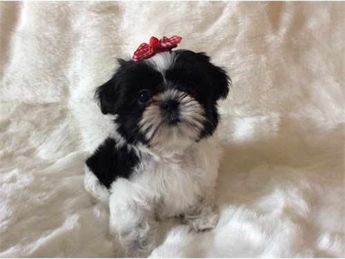 Beautiful Shih Tzu Babies