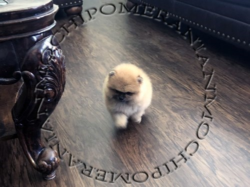 AKC Orange Male Pom