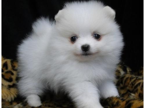 Loyal T-cup Pomeranian