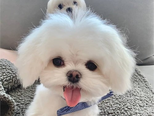 Maltese pup available